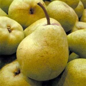 Pear Trees Packham's Triumph