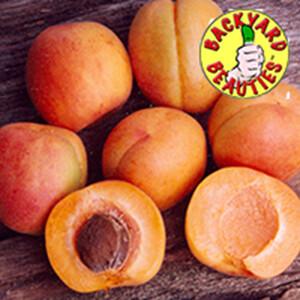 Apricot Tree Dwarf Fireball