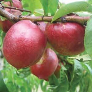 Nectarine Tree Dwarf Peacharine