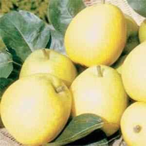 Pear Trees 20th Century Nashi