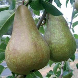 Pear Trees Beurre Bosc