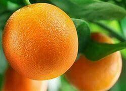 Orange Tree Dwarf Washington Navel