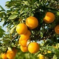 Orange Tree Dwarf Valencia