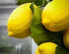 Lemon Tree Dwarf Eureka