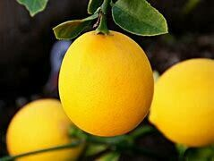 Lemon Tree Dwarf Meyer