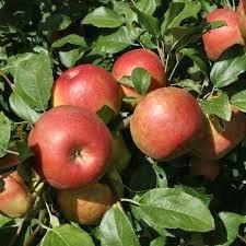Apple Trees Gala