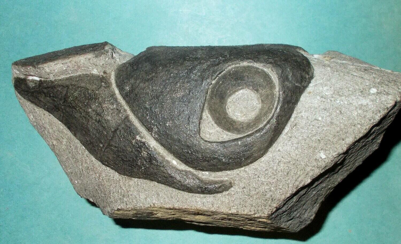 Essentially complete and fine 14.5cm X 8cm dorsal headshield of Titanichthys termeri; Arthrodire Placoderm from Late Devonian of Morocco.