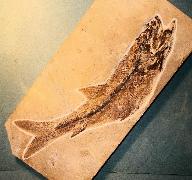 Fine complete 20cm Dastilbe elongatus; Cretaceous Santana Formation of Brazil