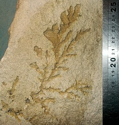 Rare 13cm Jurassic fern Sphenopteris cysteoides; Bathonian og Gloucestershire, UK