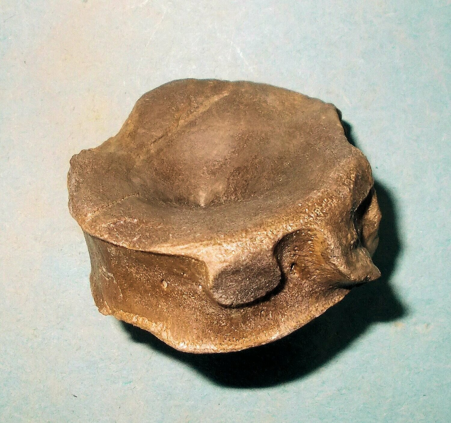 Fine 5cm diameter Ichthyosaur vertebra with excellent detail: Lower Jurassic, Orton, Peterborough, UK