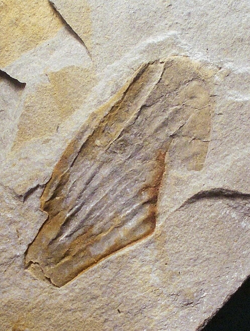 Very Rare 3.5cm British Dragonfly? wing with detailed veination; Upper Carboniferous of Devon, UK.