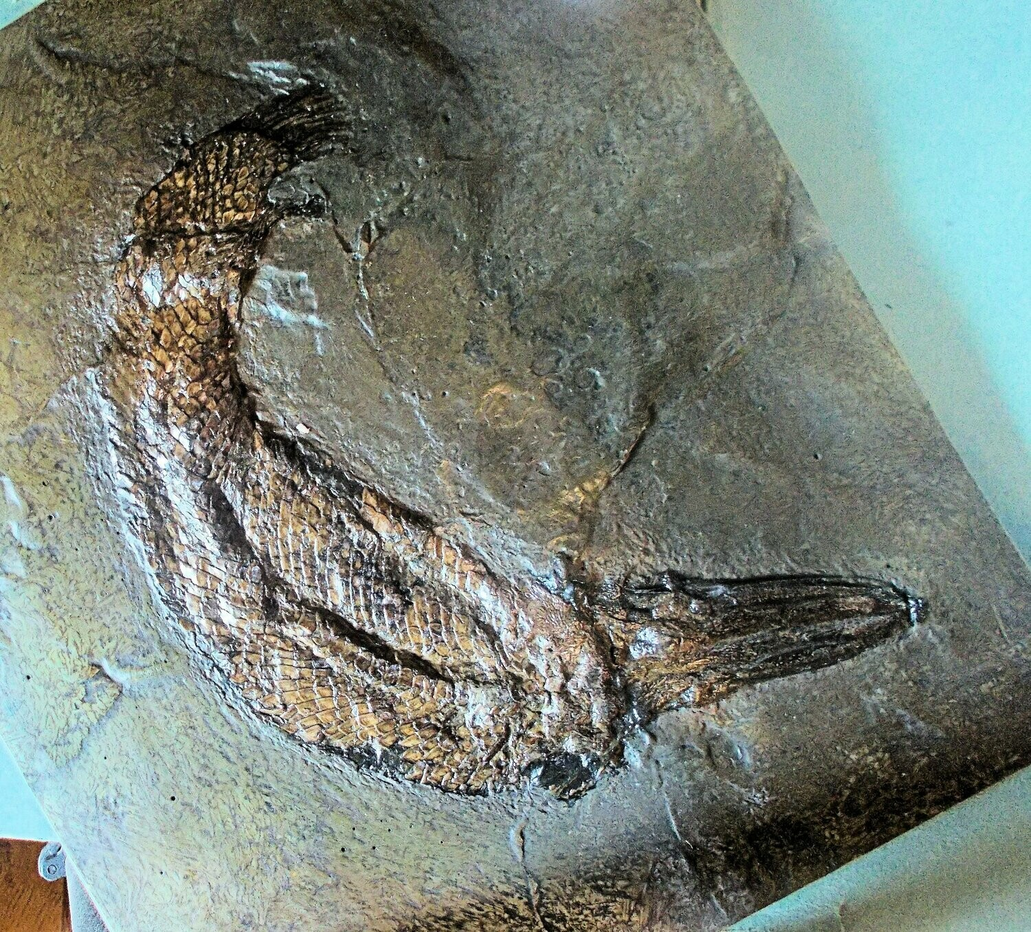 Beautiful 30cm complete Messel Garpike Atractosteus strausi: Middle Eocene of Darmstatdt, Germany.