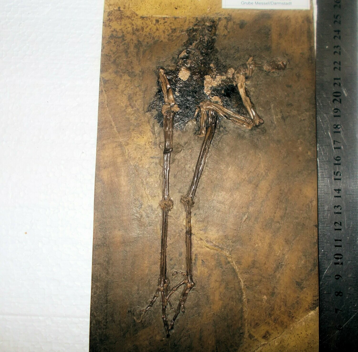 Fine and rare 19cm near-complete bird: Messelornis cristata; superb detail of limbs with digits and claws, and articulated wing bones !