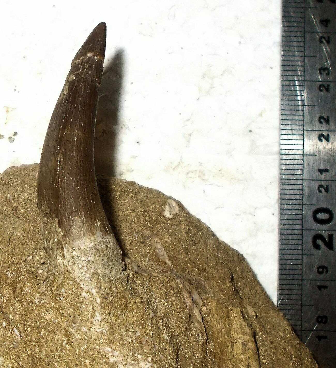 Fine 4-5cm Plesiosaur teeth with the tips intact; Upper Cretaceous, Kem Kem, Morocco