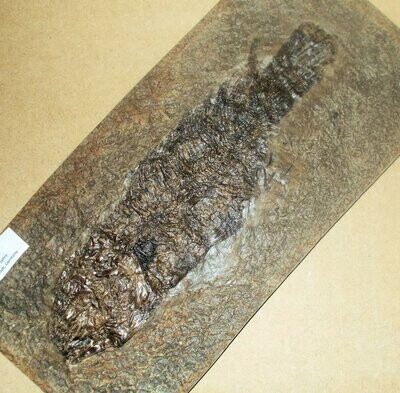 Excellent 27cm complete Cyclurus keheri fish from the famous Messel Pit, Darmstadt, Germany.