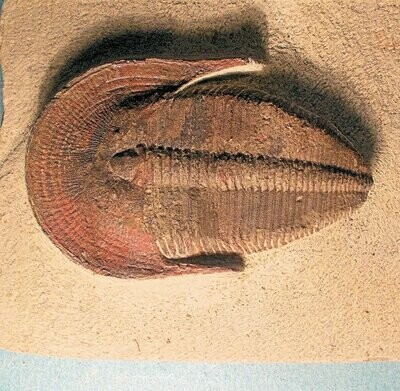 Superb 6cm complete Harpides sp.with excellent fringe detail: Lower Ordovician of Morocco.
