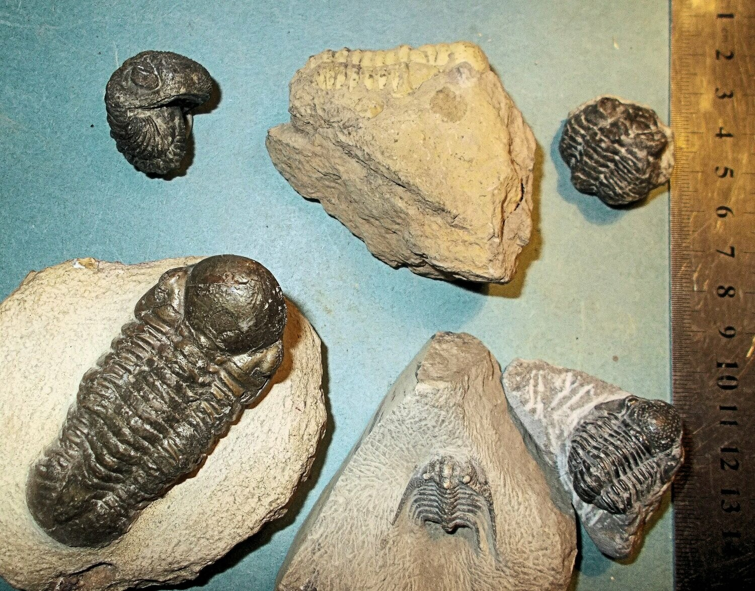 Collection of 6 complete Devonian trilobites from Issoumour, Morocco
