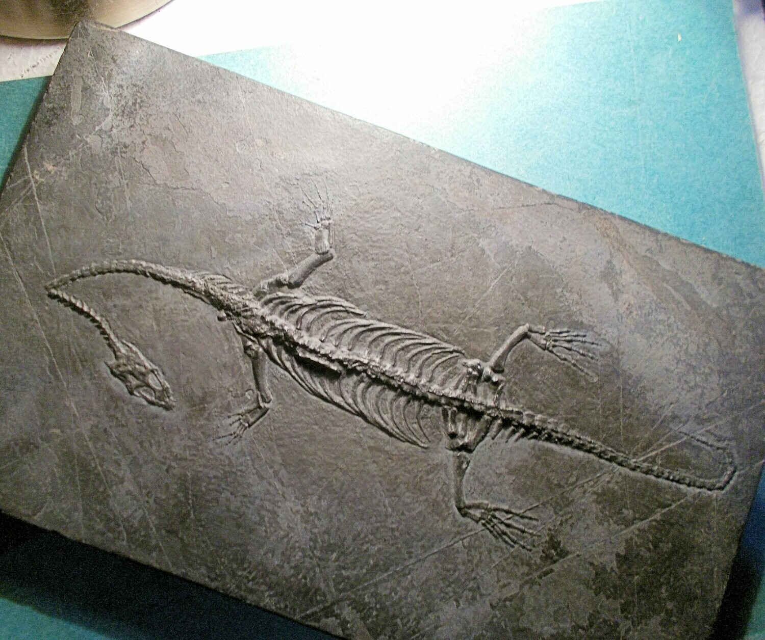 Magnificent complete 29cm Kiechiosaurus hui with excellent detail of limbs and skull:Triassic of Guizhou, China.