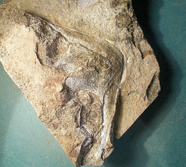 Fine 12cm headshield of Stensiopelta pustulata; armoured fish; Lower Devonian of Ukraine