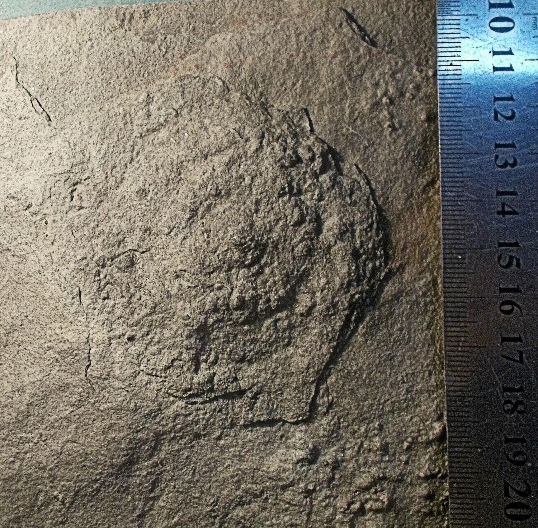 Fine and rare complete 7cm diameter Hemialora stellaris; Vendian Mohiliv Fm, western Ukraine.
