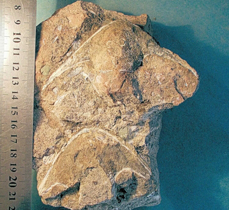 Fine 10.5cm headshield of Stensiopelta pustulata, with 8cm Victoriaspis headshield: armoured fish; Lower Devonian of Ukraine