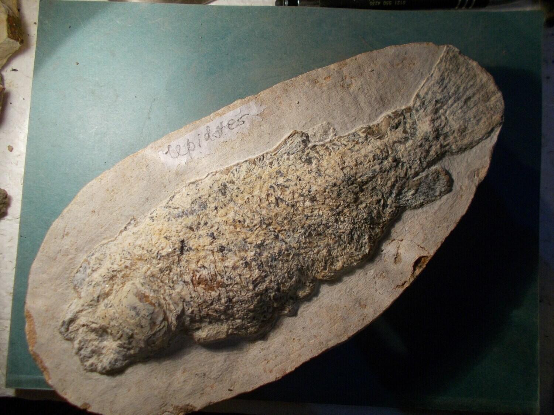 Fine 24cm Ararilepidotus tamnurus: Cretaceous Santana Fm., Brazil