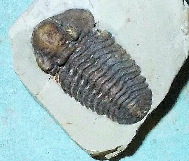 Fine 2.2cm prone Acastacephala macrops with shell intact and both eyes:  Silurian, Wenlock, Coalbrookdale, UK