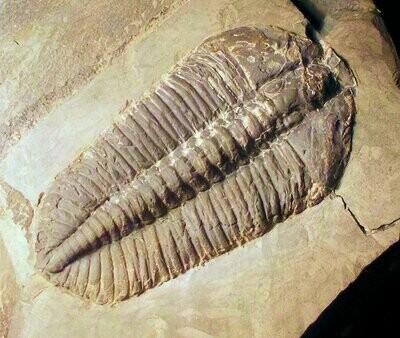 Fine and rare 5cm complete Platycalymene tasgarensis simulata: Llanvirn Series, Builth Inlier, Wales, UK
