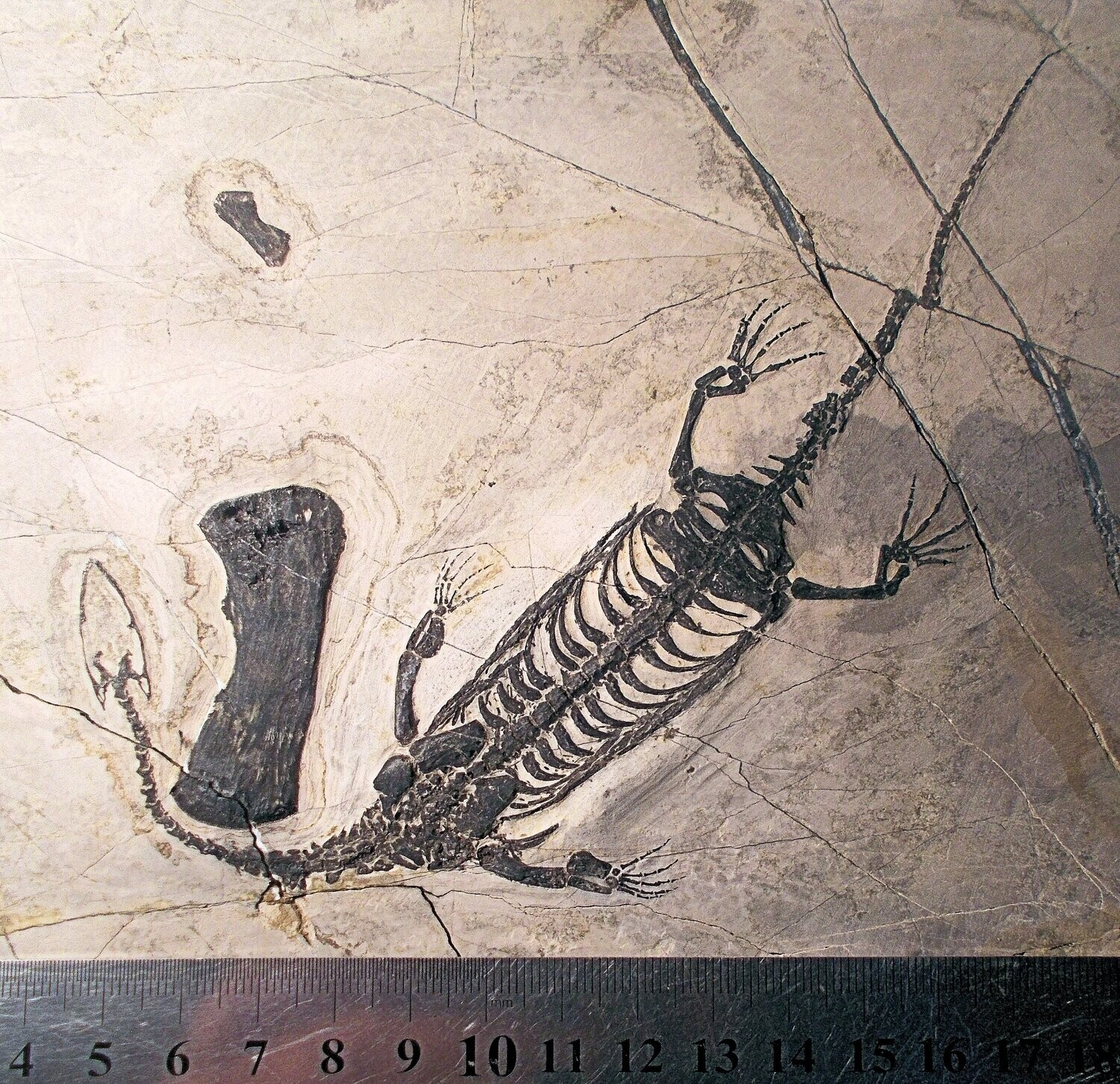 Excellent complete 22cm Kiechiosaurus hui with fine detail of limbs with digits, vertebrae/ribs :Triassic of Guizhou, China.