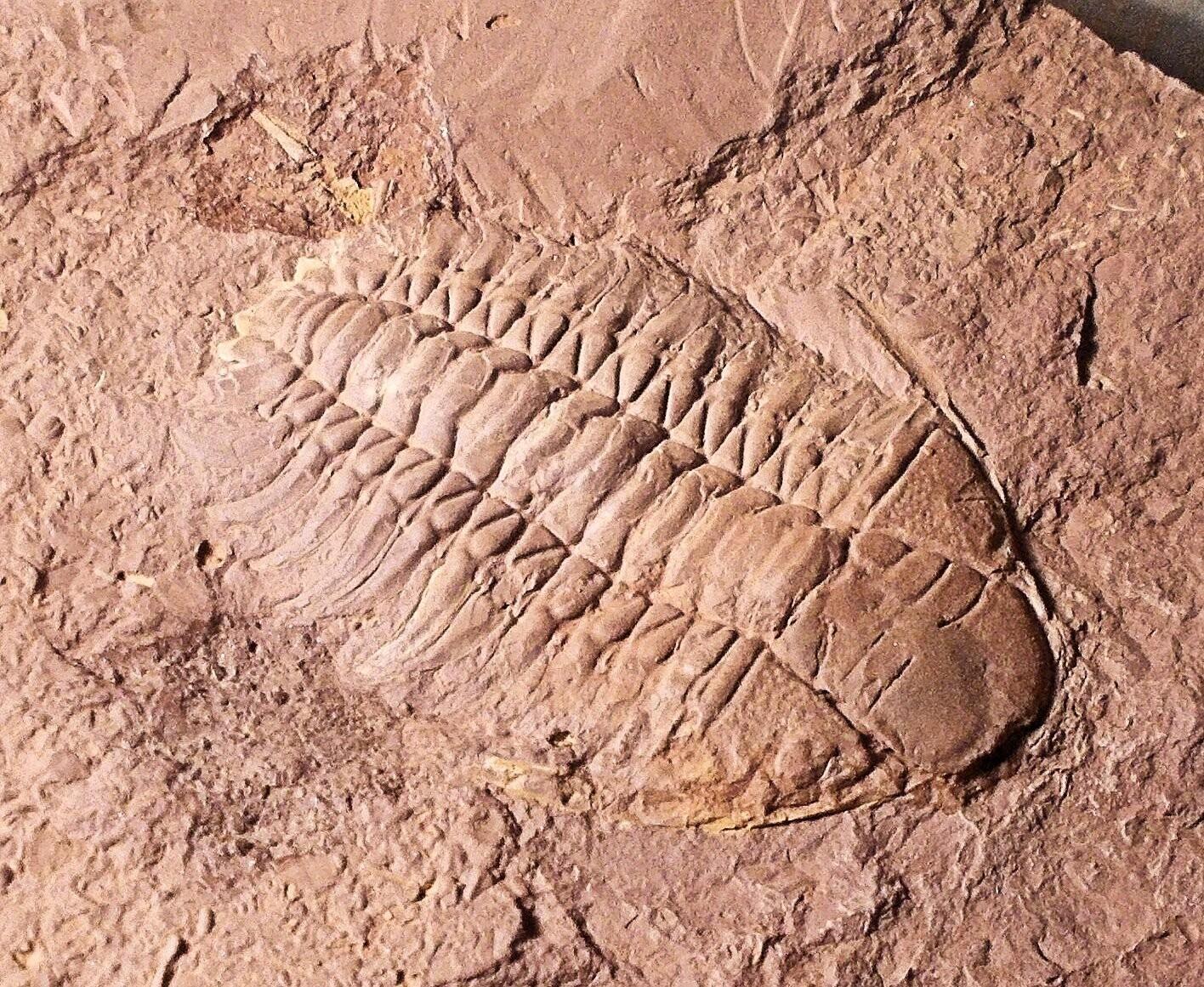 Rare and fine 5cm complete Parisoceraurus  xiushansensis  positive/negative: Lower Ashgill Series, Baoshan Yunnan, China.