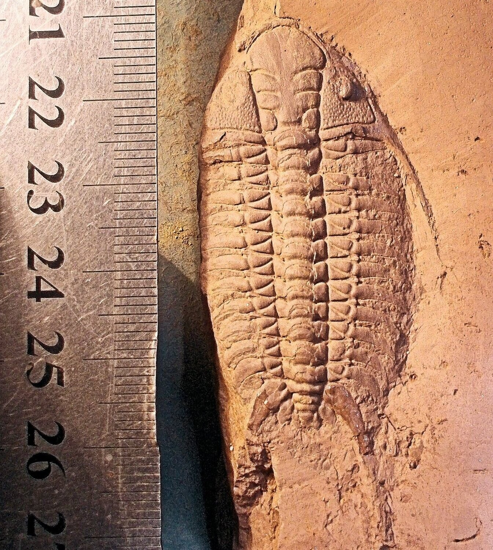 Rare and fine 6.5cm complete Parisoceraurus xiushansensis: Lower Ashgill Series, Baoshan Yunnan, China.