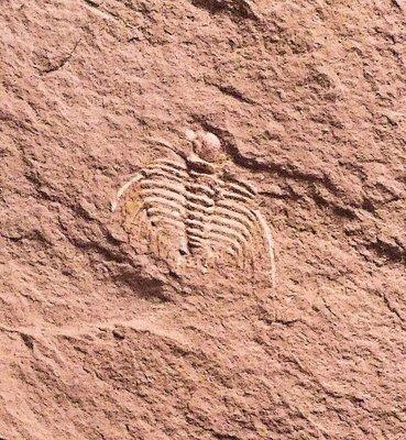Rare and localised 1cm  Leonaspis (Leonaspis) aff. pigra: Devonian, Lilac Shales, Alnif, Morocco
