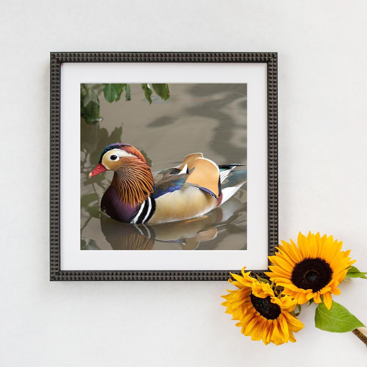 Mandarin Duck Framed Print
