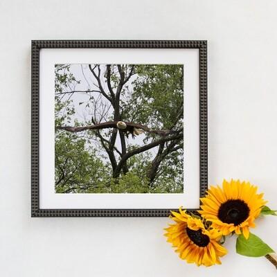Bald Eagle  #3147 Framed Print