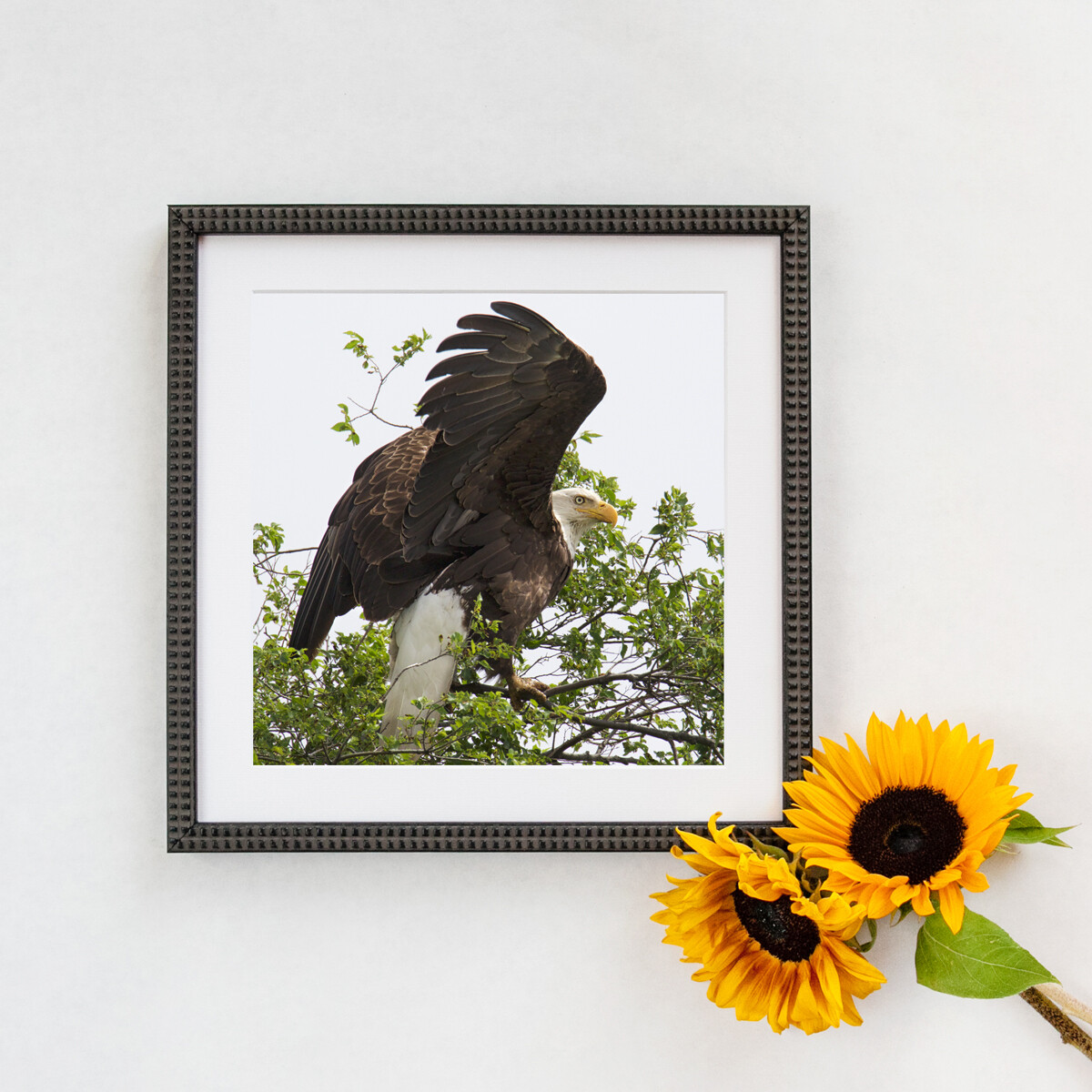 Bald Eagle  #3515 Framed Print