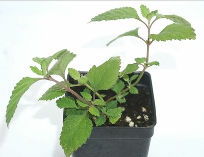 Aztec sweet mint (Lippia dulcis) Plants.