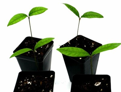 Live miracle fruit seedlings: Synsepalum dulcificum.