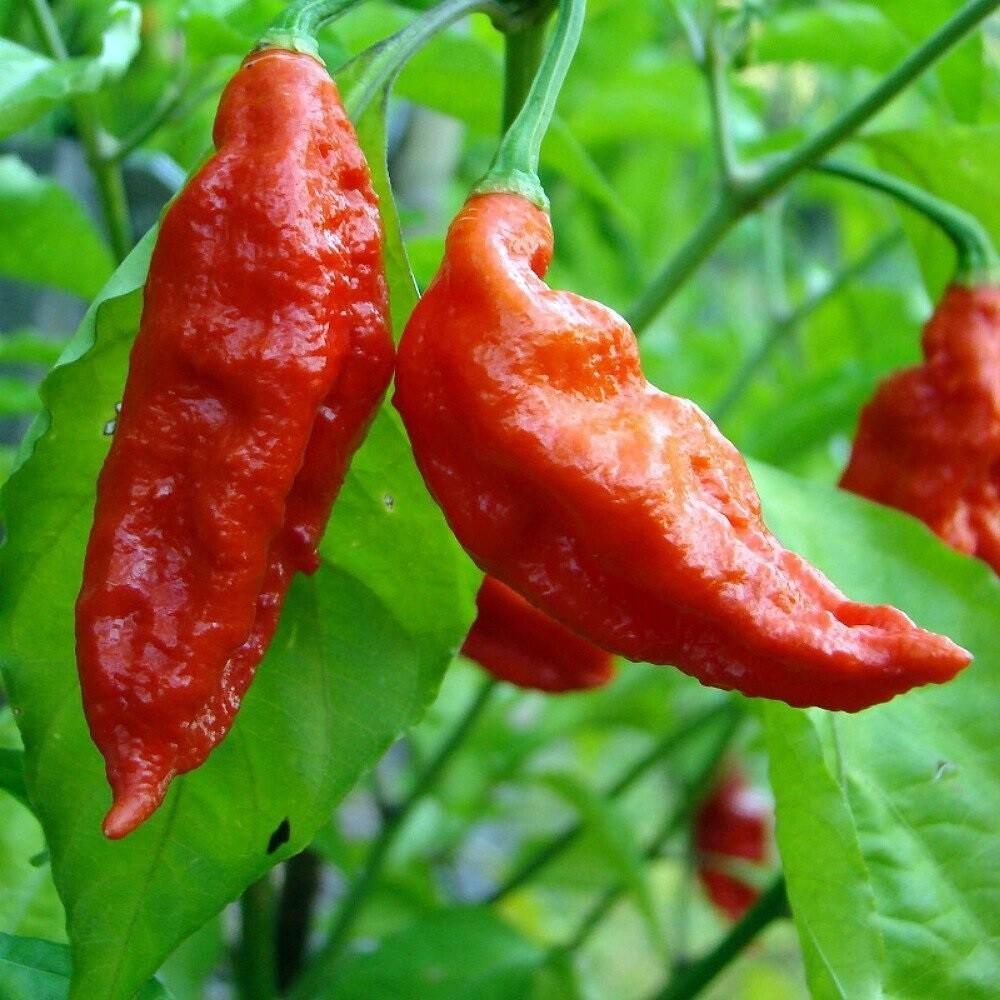 Bhut Jolokia (Ghost pepper) Seeds.