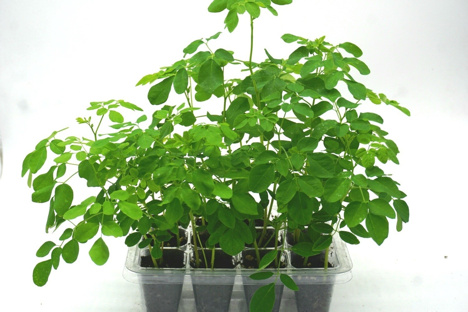 "Moringa oleifera  ""Mini"" Tree Farm (Grow kit). Open/Water/Enjoy."