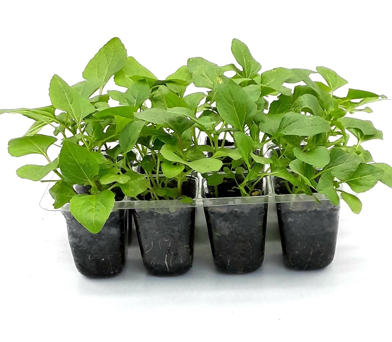 Buzz Button Plant (Acmella oleracea) Grow Kit. Open/Water/Enjoy.