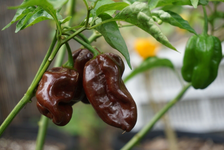 """Jamaican"" Chocolate Habanero pepper seeds- Capsicum chinense"