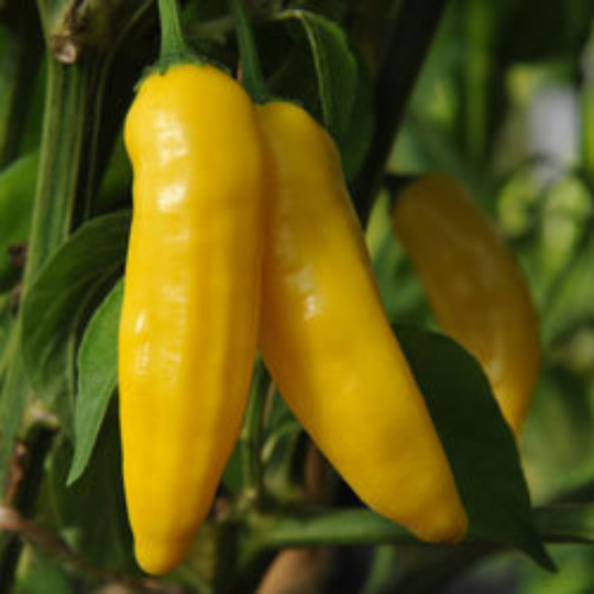 Aji Lemon Drop/limon pepper SEEDS 2020-Capsicum  baccatum