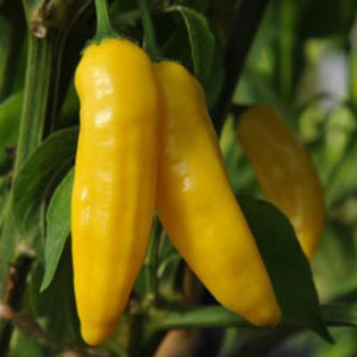 Aji Lemon Drop/limon pepper SEEDS 2020-Capsicum  baccatum