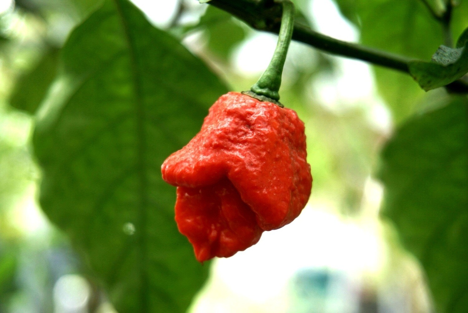 Apocalypse Scorpion Pepper Seeds-Capsicum chinense.