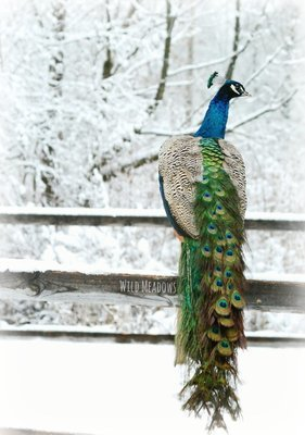 Peacock in the winter