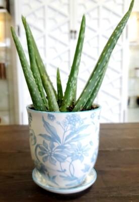 Blue Garden Aloe Plant