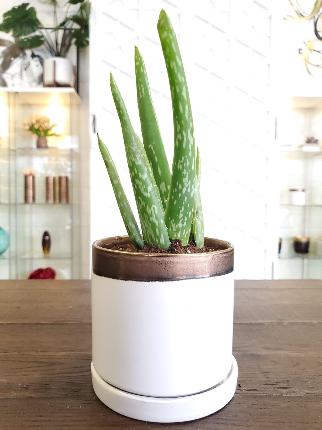 Big Minute Potted Aloe Plant