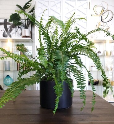 Potted Kimberly Fern