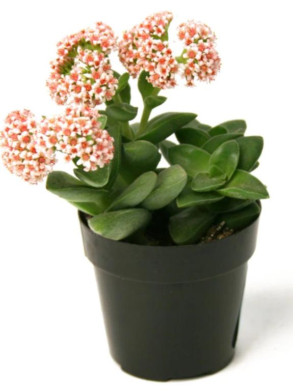 "Crassula 'Springtime' Succulent 2.5"""