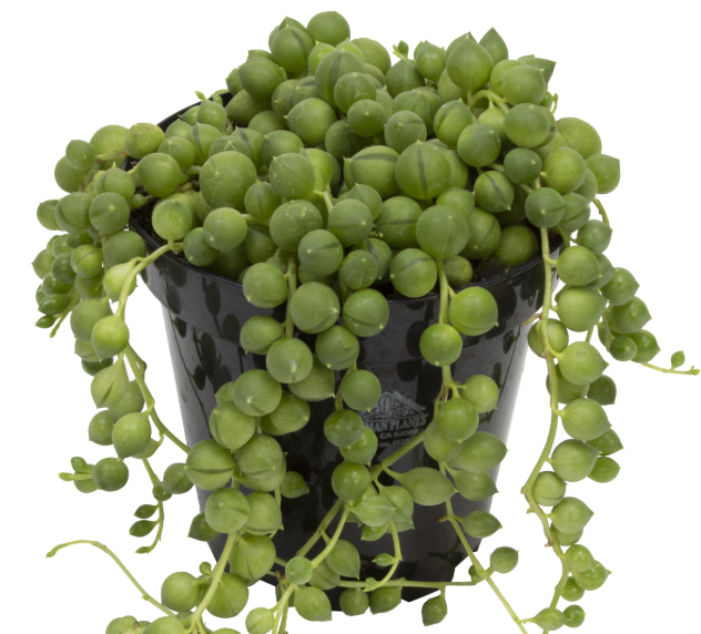String of Pearls 3.5""